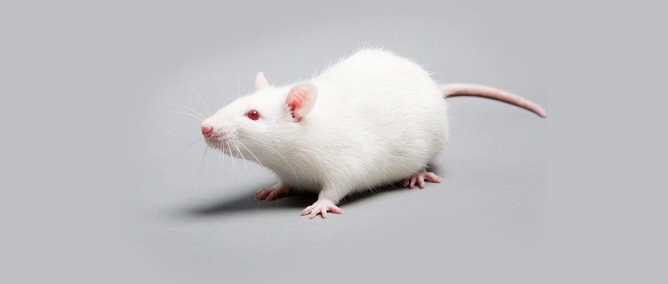 How rats can help improve colon endometriosis treatment in humans
